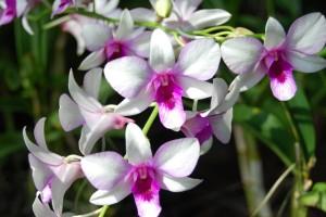 tipos de orquideas