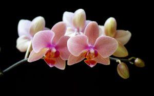Flor de orquidea