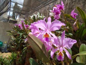 conhecer a espécie de orquídea facilita o cultivo