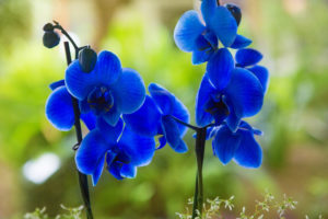 como conservar suas orquideas azuis