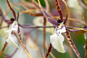 orquidea brassia conhecida como orquidea aranha