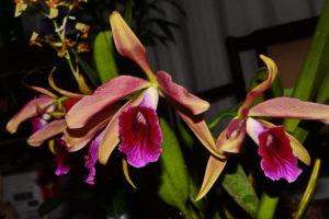 orquidia laelia é ótima decoração