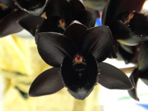 saiba como cuidar da orquídea negra corretamente