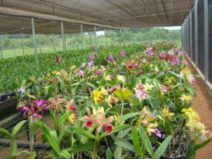 veja onde comprar orquideas online ou em orquidarios de sua regiao