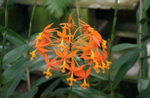 Epidendrum Cinnabarinum é uma espécie terrestre de orquídea