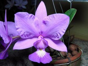 as orquideas cattleyas preferem vaso de barro