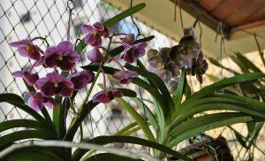 orquídeas gostam de luz indireta dentro de casa