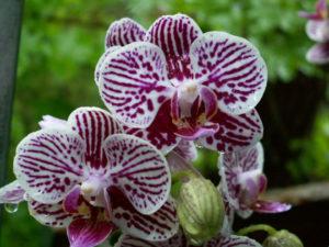 as phalaenopsis apreciam uma boa ventilação