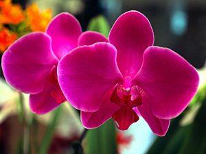 orquideas floridas encantam a todos