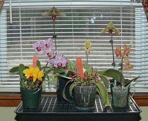 orquideas no vaso correto para cada especie