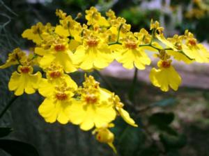 A orquídea oncidium é também conhecida como Chuva-de-Ouro