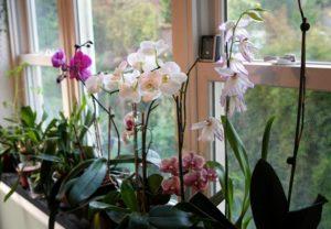 orquídeas gostam de luz indireta