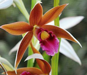 Orquídea Phaius pode entrar em extinção
