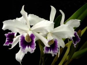 Orquidea Laelia Purpurata se adapta bem ao inverno