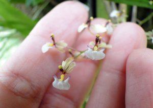 Mini orquídeas são adoráveis e delicadas