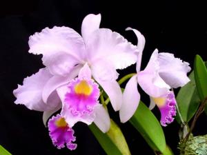 Orquídeas Colombianas Cattleya