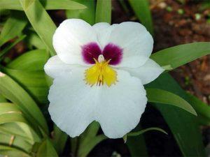 Orquídeas Colombianas Miltônia