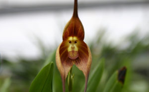 orquidea cara de macaco