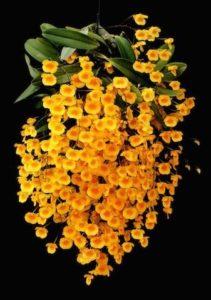 orquidea dendrobium