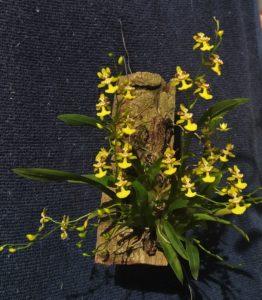 Como Plantar Orquídeas em Árvores