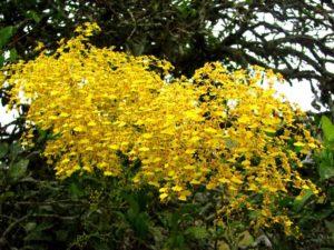 Orquídea Pingo de Ouro