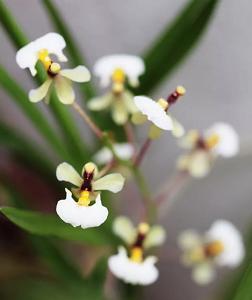 Orquídeas Pequenas Raríssimas