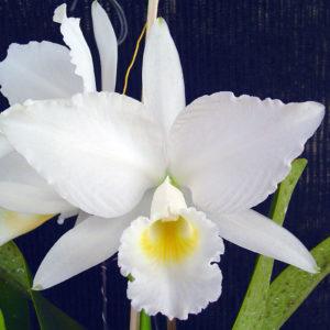 Cultivar Orquídeas no Nordeste