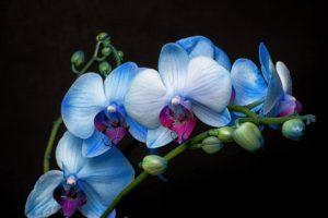 Orquídea Azul Blue Mystic