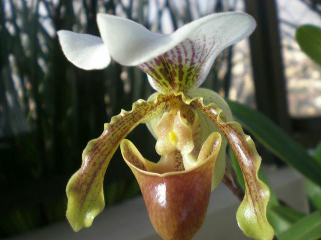 Orquídea Sapatinho ou Orquídea Queixuda