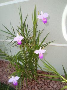 Orquídea Bambu: como fazer mudas?
