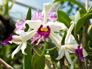 Orquidea Cattleya Como Cuidar