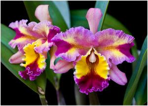 Qual orquídea mais fácil de cuidar?