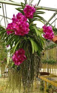 Orquídea Vanda Como Cuidar